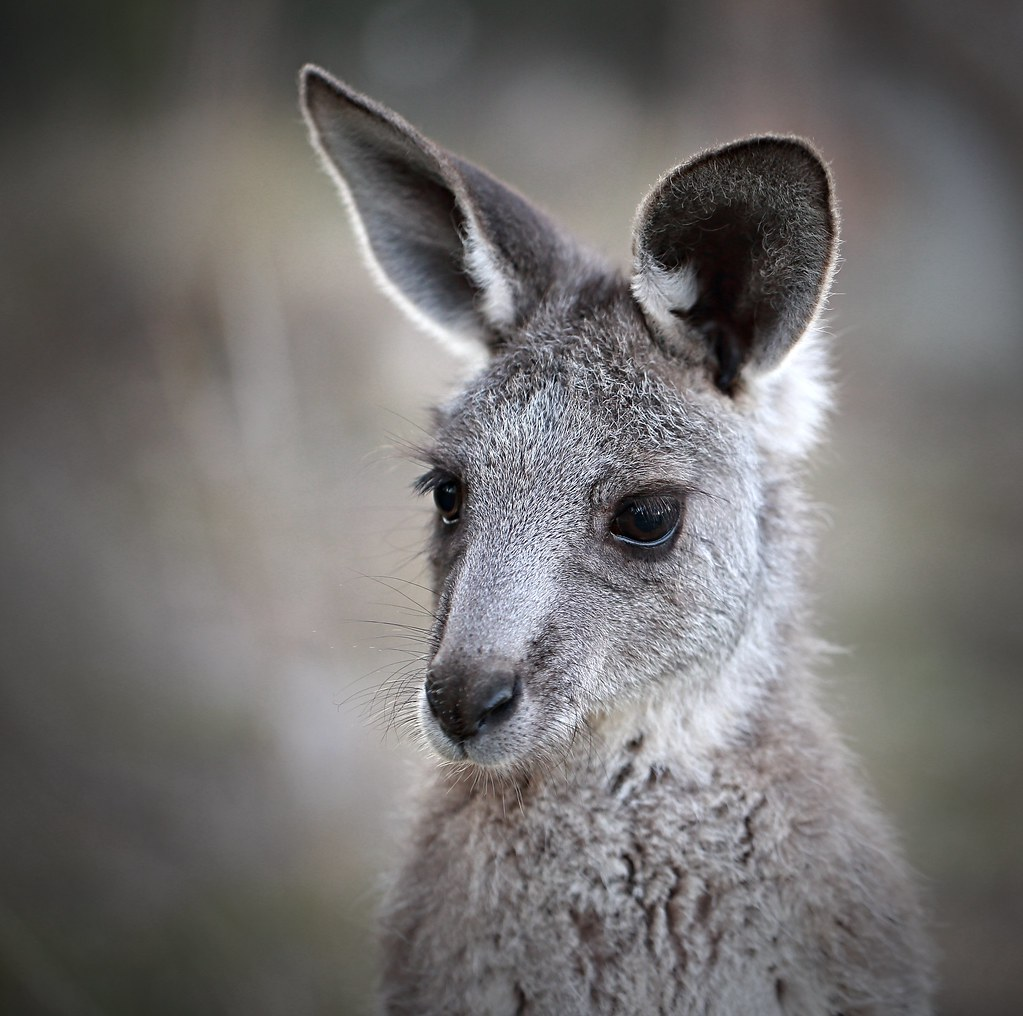 Image Result For Kangaroo And Baby