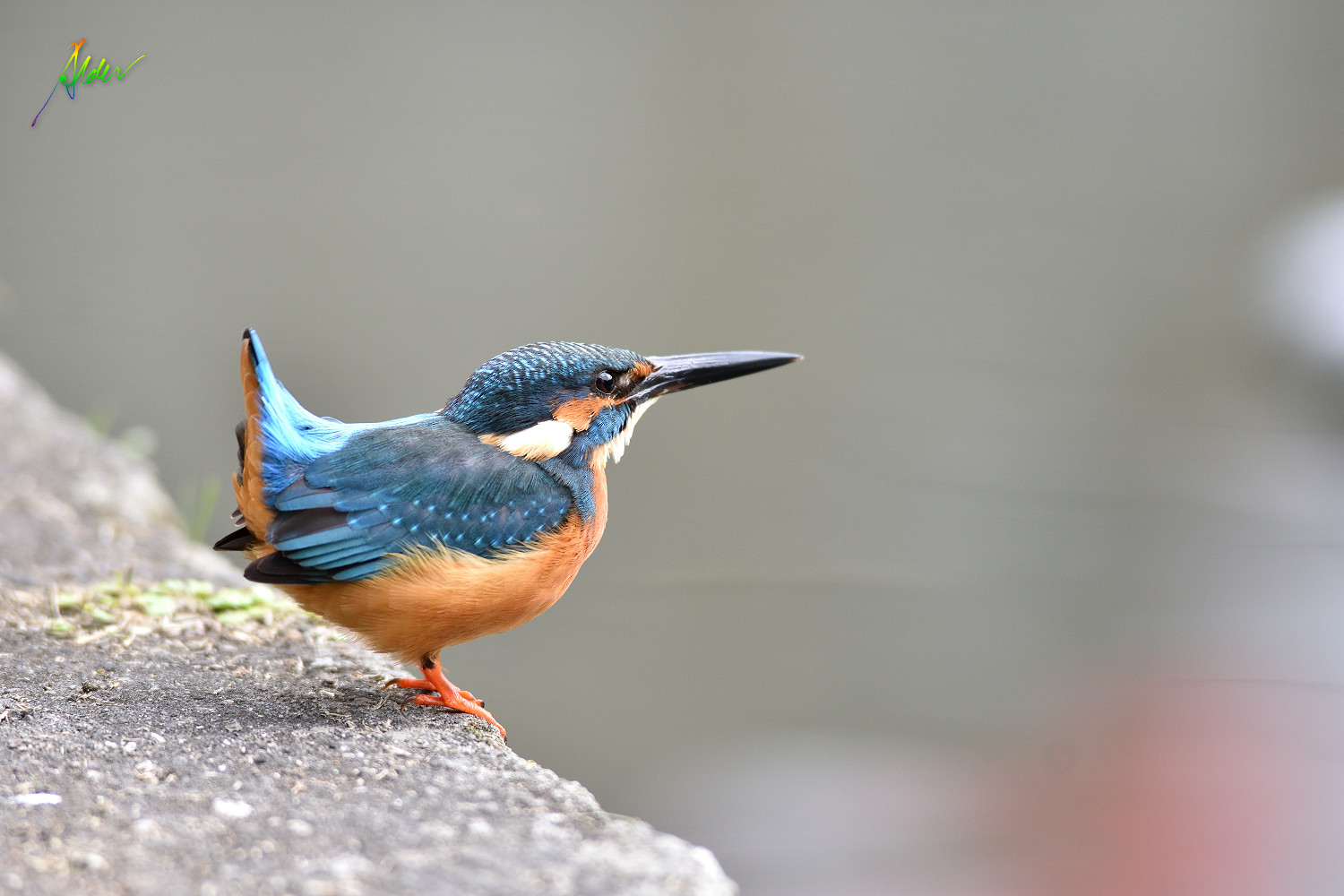 Common_Kingfisher_1600