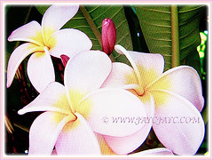 Beautiful pink-coloured Plumeria (Frangipani), 3 Feb 2017