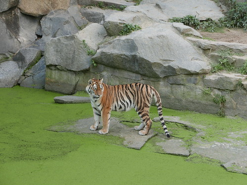 Tiger am Teich