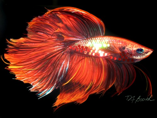 Mixed Media Quilling - Red Betta