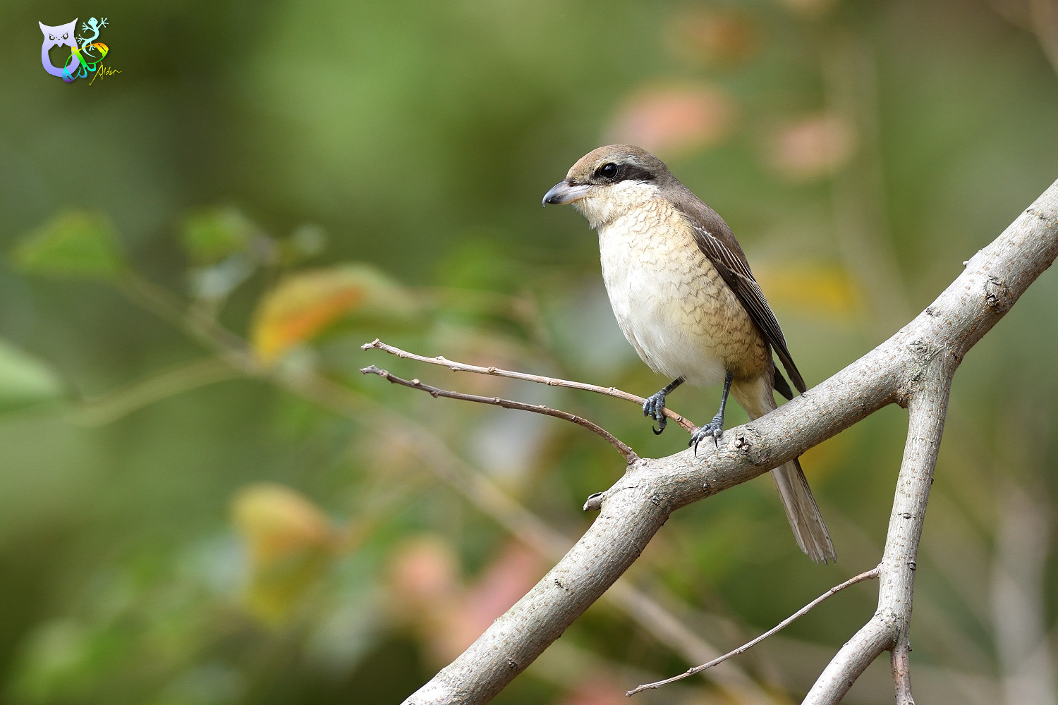 Brown_Shrike_9717