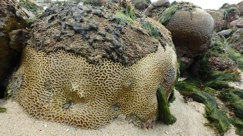 Coral bleaching and death at Pulau Tekukor, Jan 2017
