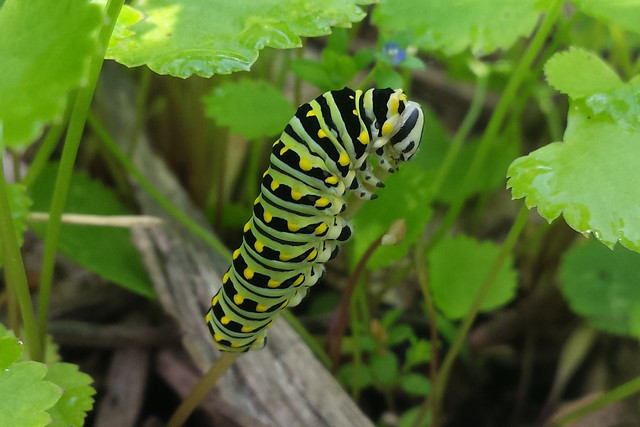 large caterpillar climbing up a short stem and eating the top