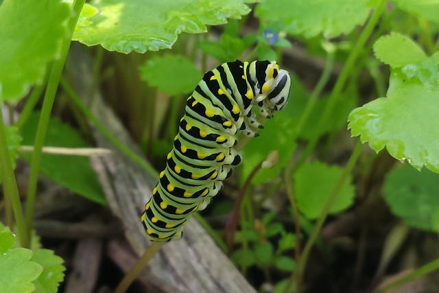 large caterpillar climbing up a short stem and eating the top