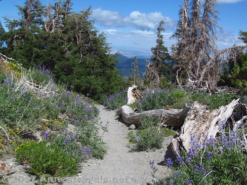 Looking back down the trail at an especially nice wildflower display on Gnarl Ridge in Mt. Hood National Forest, Oregon