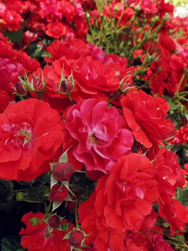 New World - Rose Garden