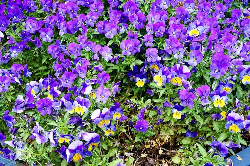 purple pansies flowers