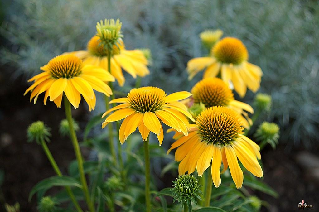 fleurs jaunes printemps d couvrez mon univers graphique et flickr. Black Bedroom Furniture Sets. Home Design Ideas