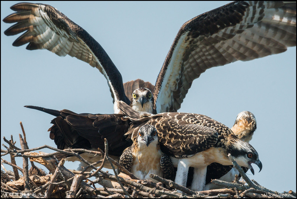 July Osprey [1]