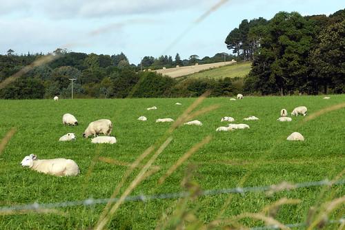 Sheepy View
