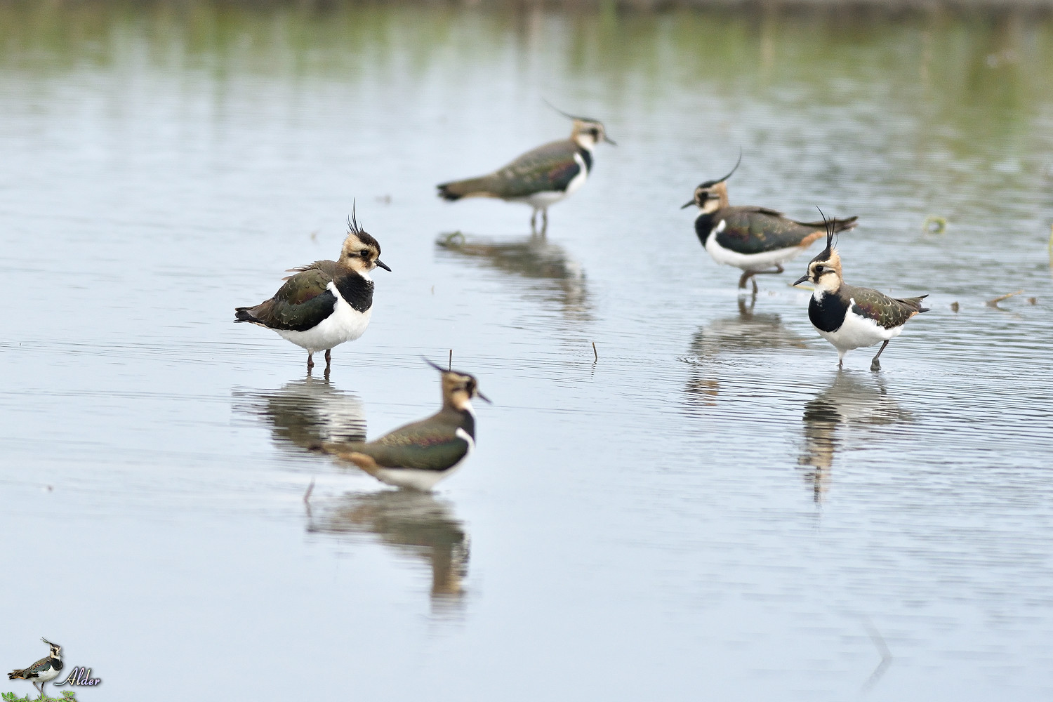 Northern_Lapwing_4932