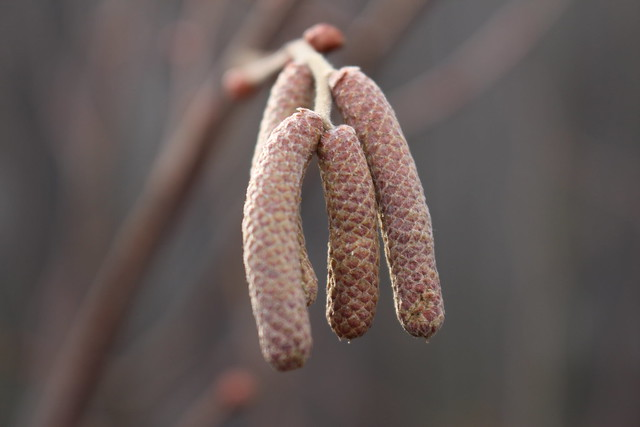 Alun | Corylus avellana
