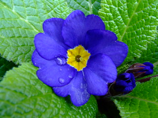It's opened...polyanthus.. | by Gale's Photographs