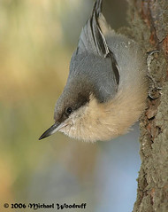 Pygmy Nuthatch | by Michael Woodruff