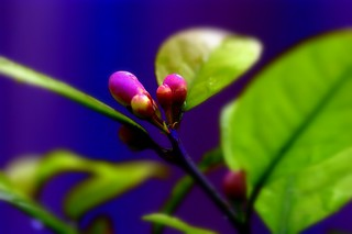 Lemon Tree Flower Buds | by dracoLLL
