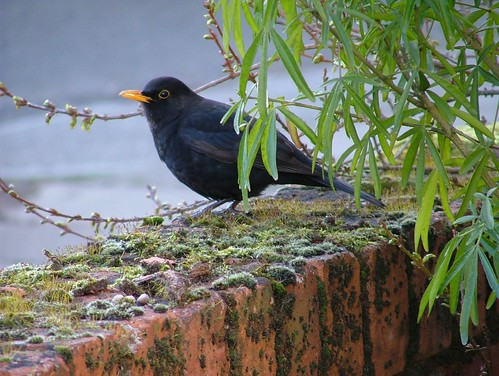 Blackbird | by Kippers Pics