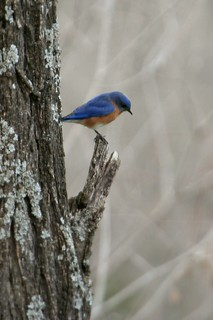 Blue Bird on Perch | by TheAndrewMoney