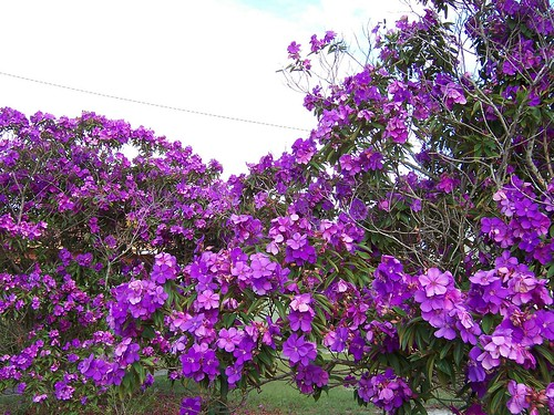 Purple flowering tree | These trees are still flowering ...