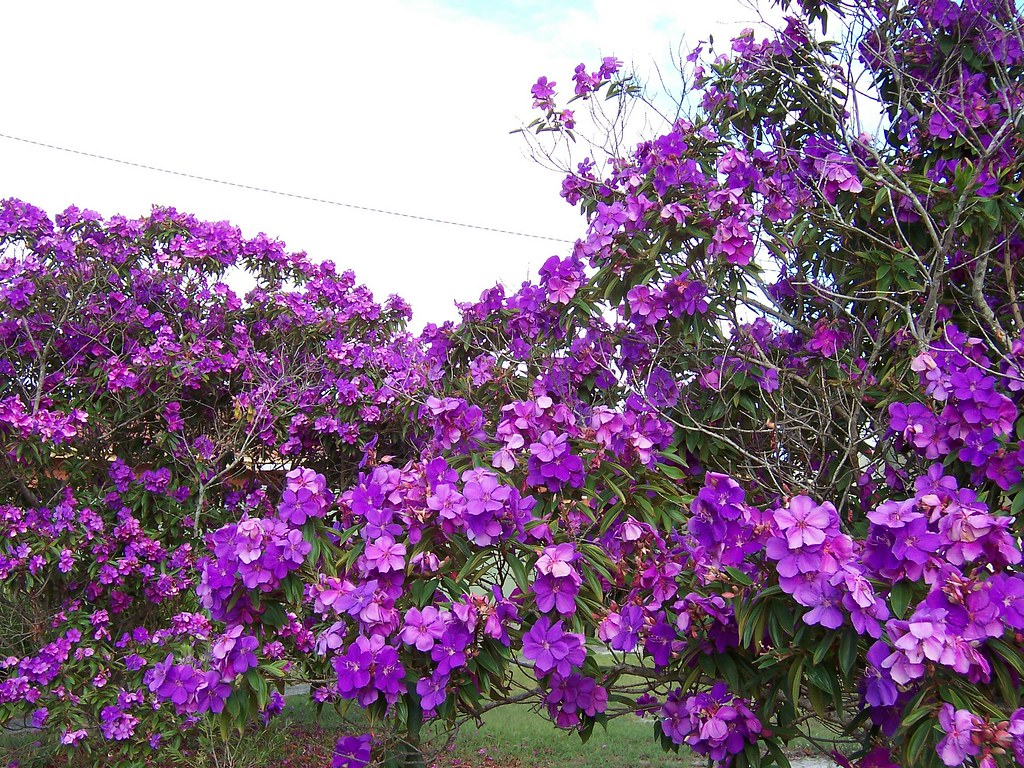 Purple flowering tree These trees are still flowering like…
