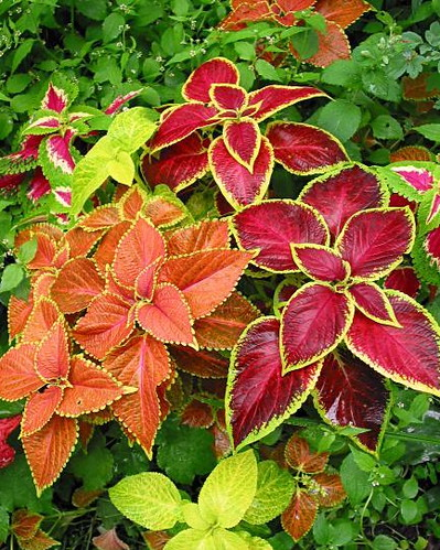 Colorful Coleus | by edgoldstein007