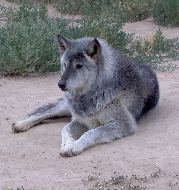 High Content Wolf Dog For Sale