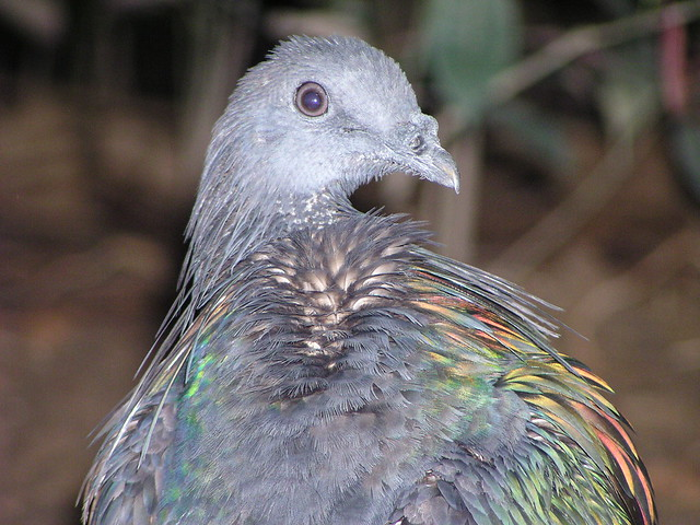 Nicobar pigeon southeast asian birds aviary flickr photo sharing
