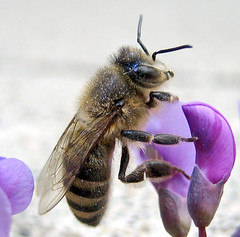 Furry Bee | by Automania