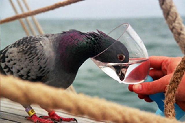 """Результат пошуку зображень за запитом """"pigeon drinking"""""""
