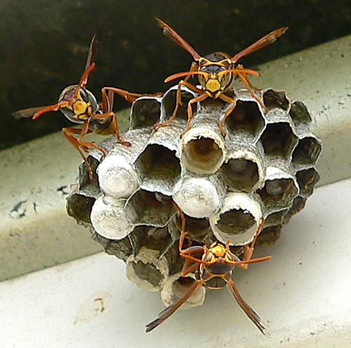 PaperWasps049 | by hotpiccies