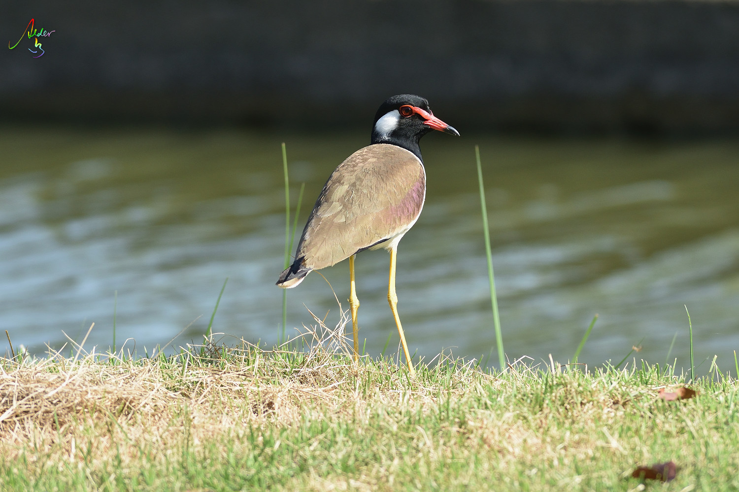 Red-wattled_Lapwing_8843