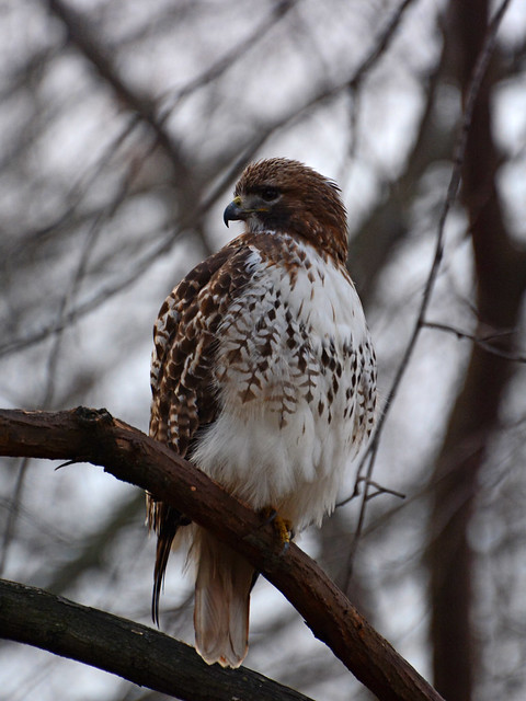 Riverside Red-Tail - 1022