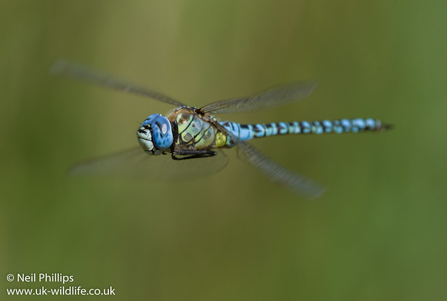 Southern migrant hawker-11