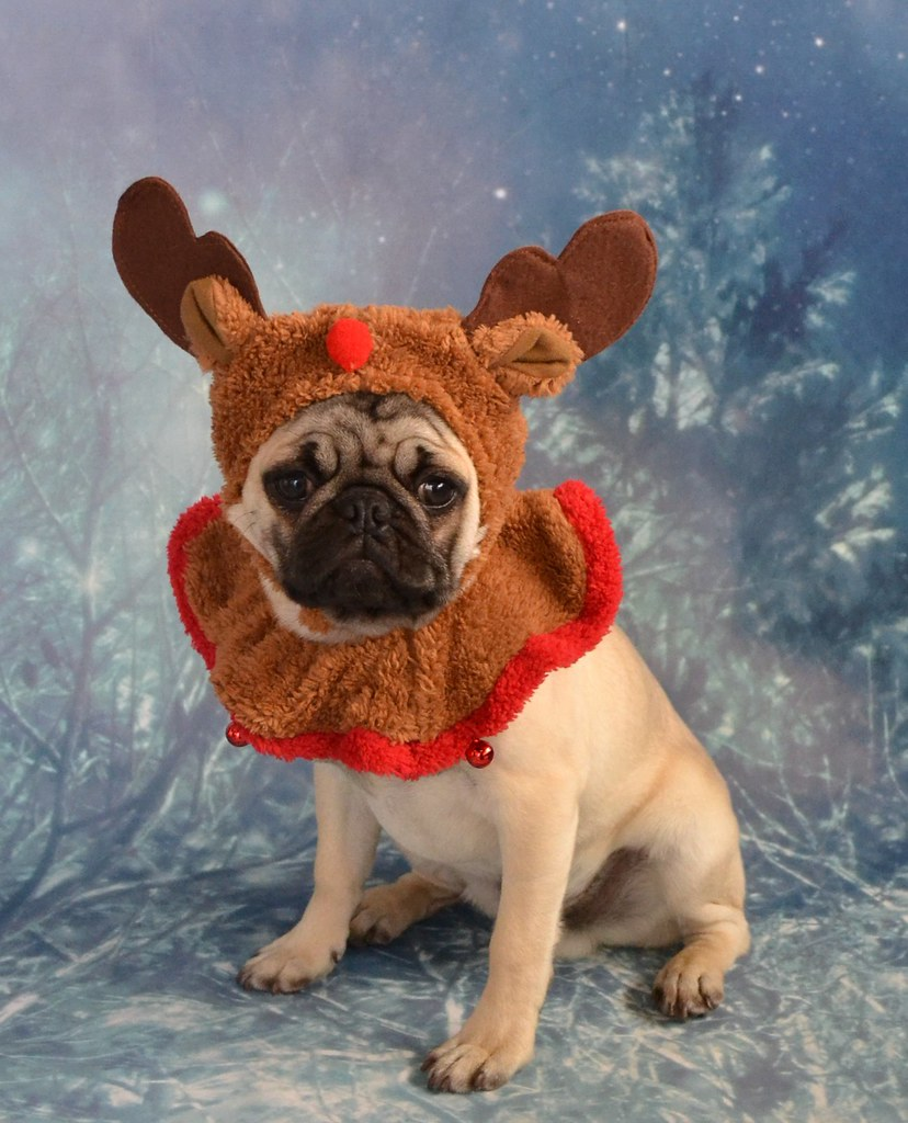 santa u0027s little pug reindeer boo the pug dapuglet flickr