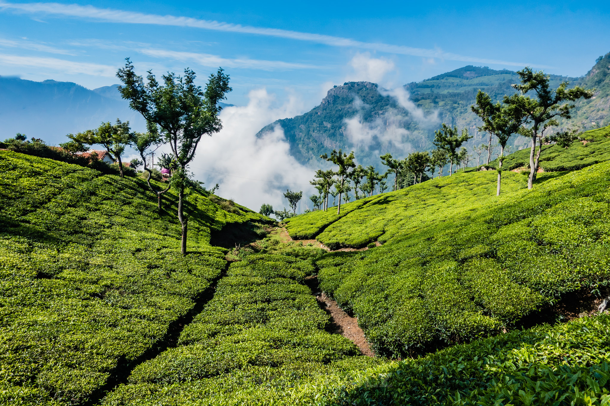 Tea Valley
