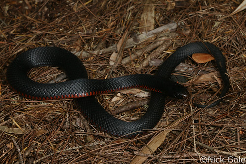 Red-bellied black snake (Pseudechis porphyriacus) | by Nick Gale