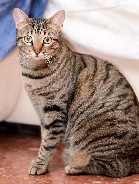 Tigris, gatita atigrada parda de ojazos verdes y cara redondita, tímida y sumisa esterilizada, nacida en Septiembre´15, en adopción. Valencia. ADOPTADA. 32350560040_001f9392fd_z