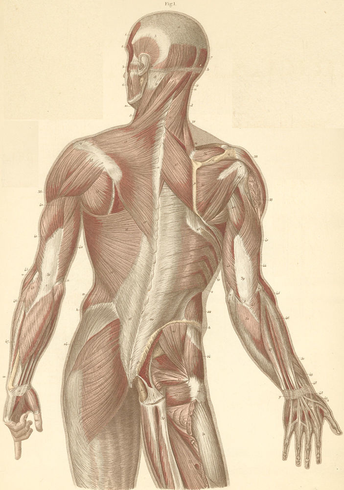 12-1 Muscles of the neck, back, and dorsal surface of the … | Flickr