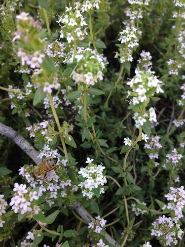 thyme for bees