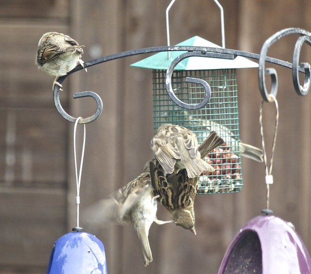 House Sparrow Family IMG_2621