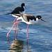 Black-necked Stilts at Alameda Point