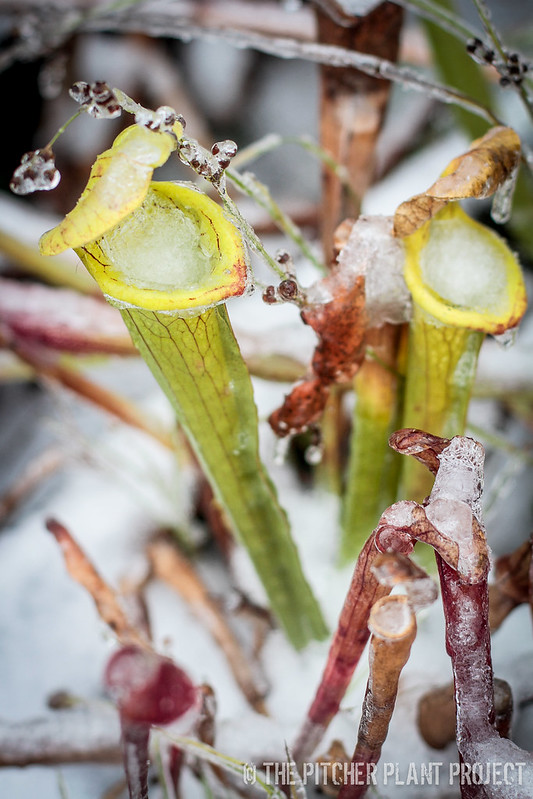 Sarracenia's First Snow - Dec 2016