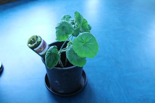 a geranium from Desire