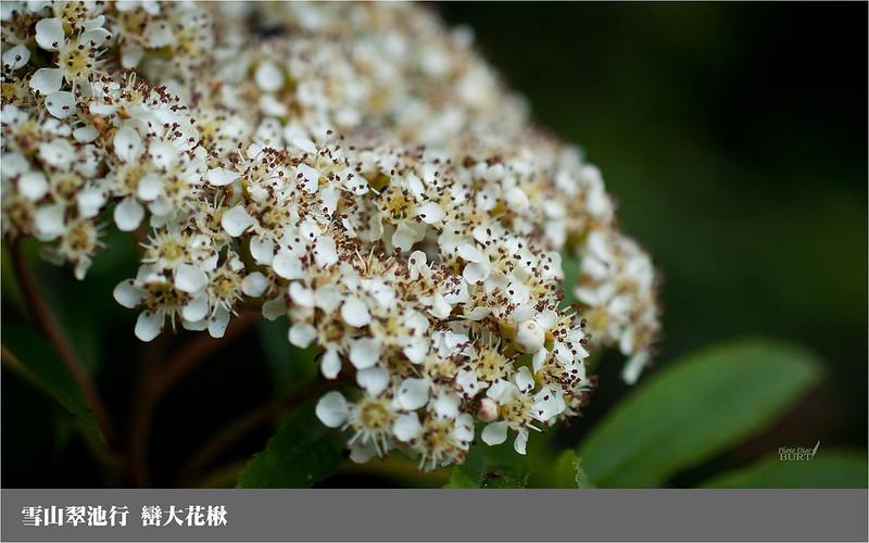 雪山翠池行_巒大花楸