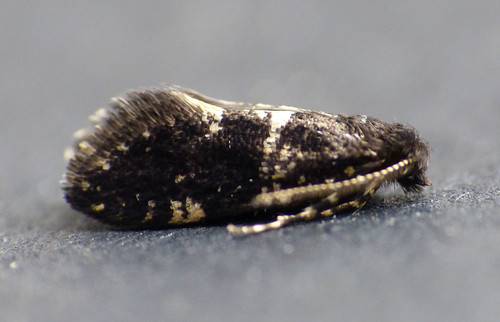 Narycia duplicella Malton, North Yorkshire June 2015