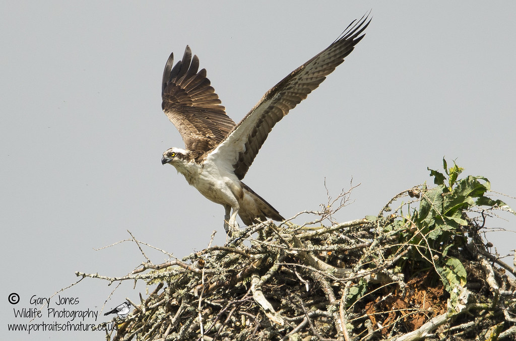 Male leaving a nest