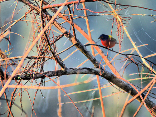 Painted Bunting male 20170206
