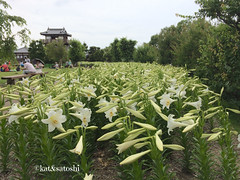 white lilies at ikeda castle ruins