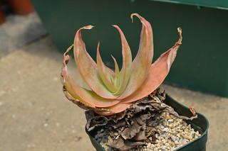 Aloe striata 口紅アロエ
