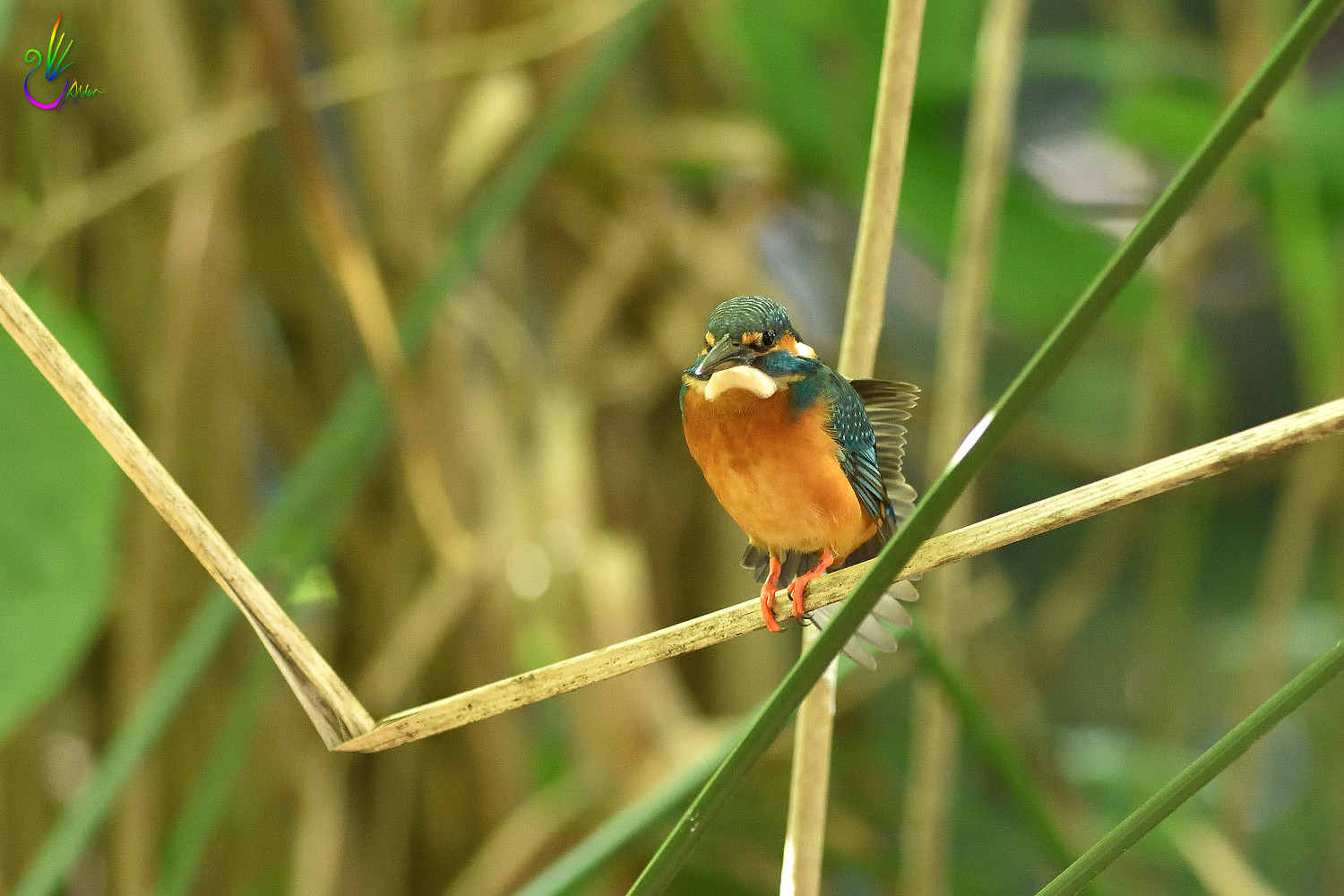 Common_Kingfisher_5508